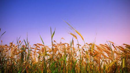 ears of corn, field, summer