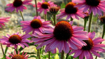 echinacea, flowers, petals