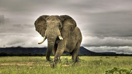 elephant, large, grass