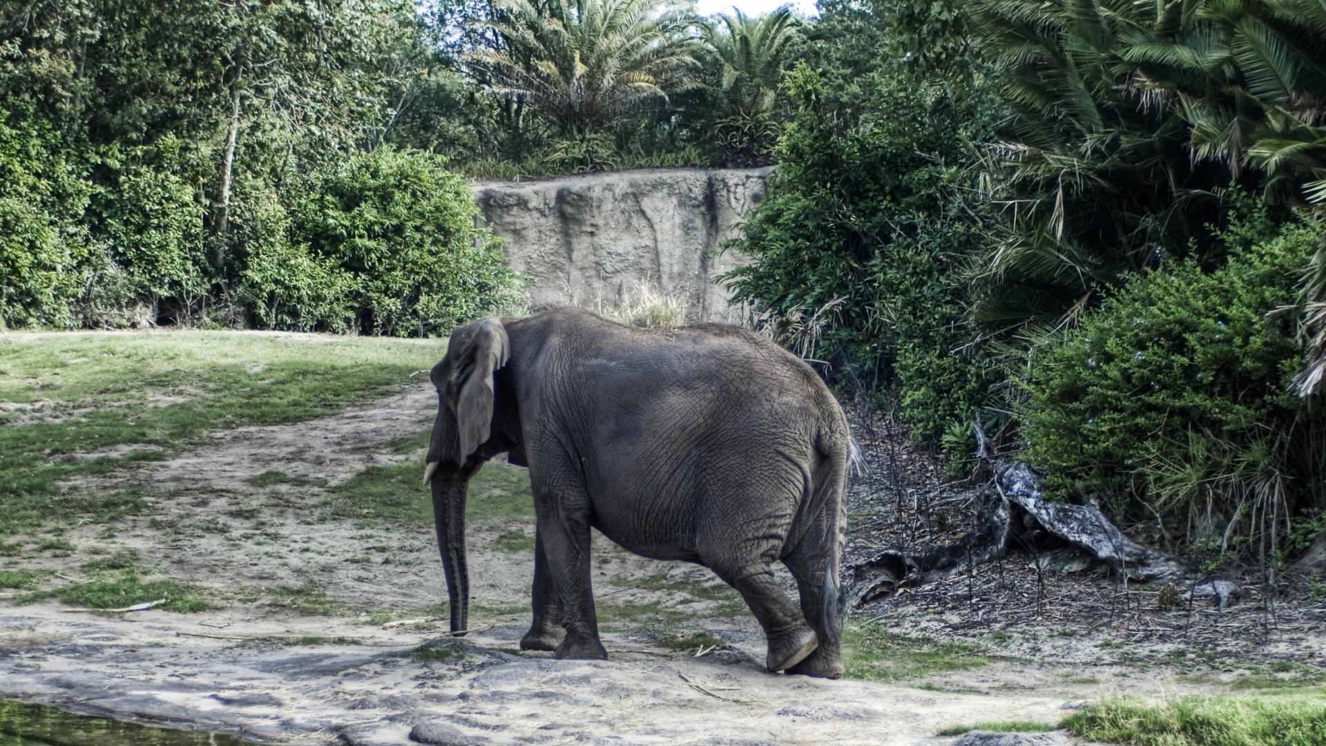 Download Wallpaper 1920x1080 elephant, large, walk, trees ...