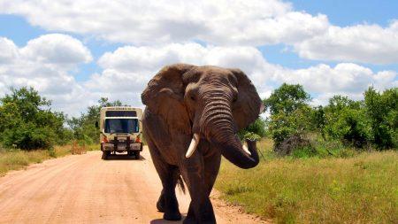 elephant, road, walk