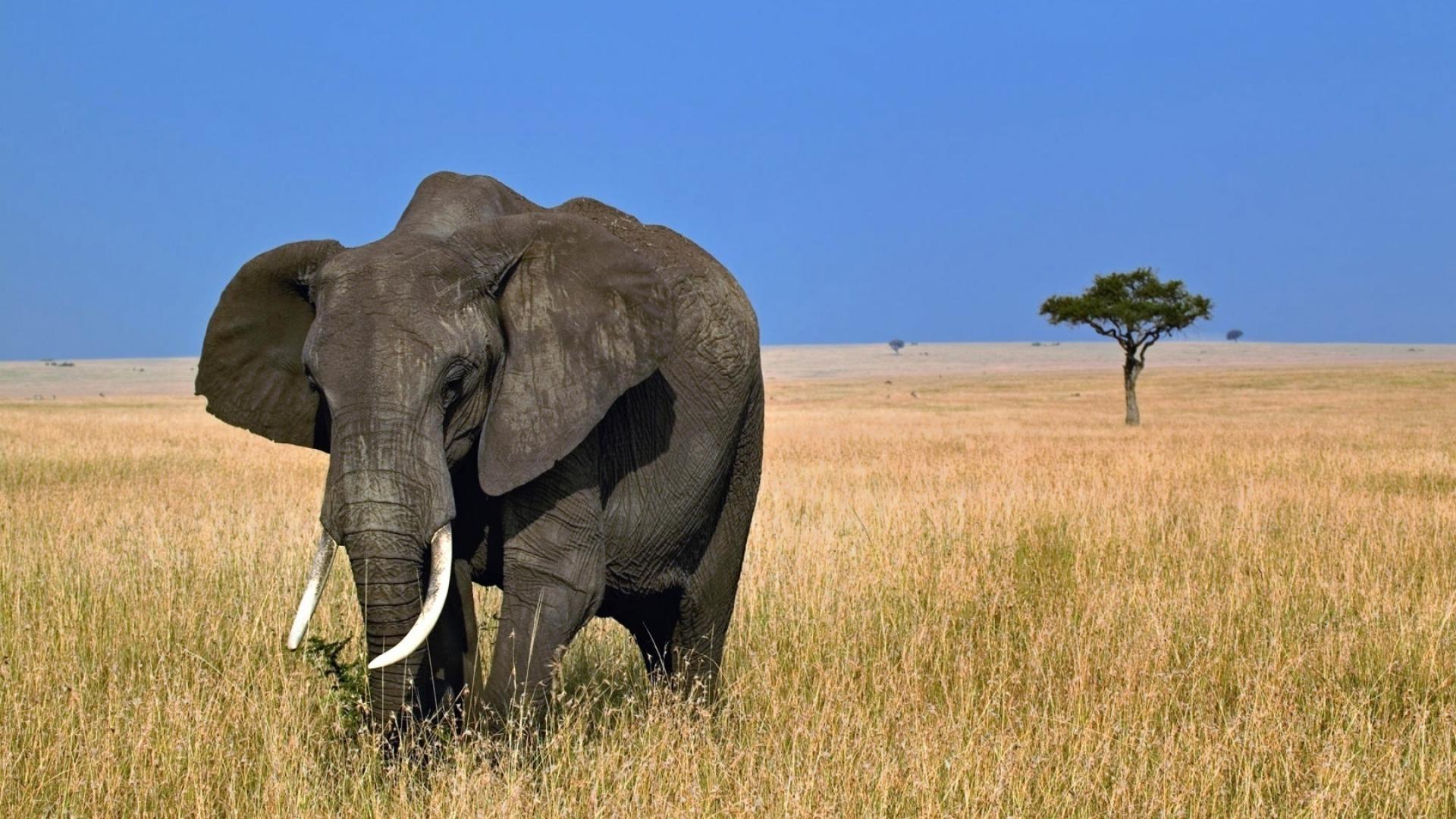 Download Wallpaper 1920x1080 Elephant Safari Africa