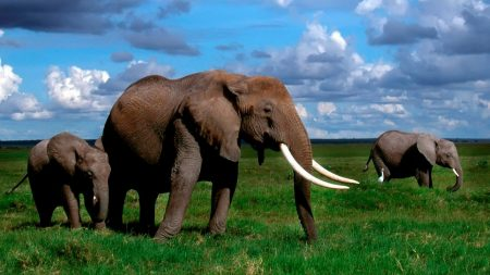 elephant, tusks, walk