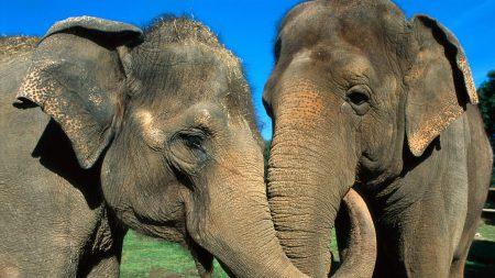 elephants, couple, trunk