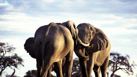 elephants, couple, walk
