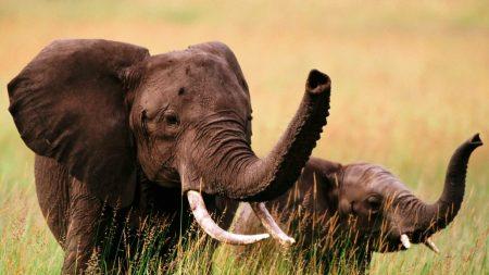 elephants, grass, couple