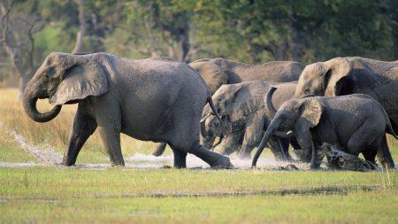 elephants, herd, tramp