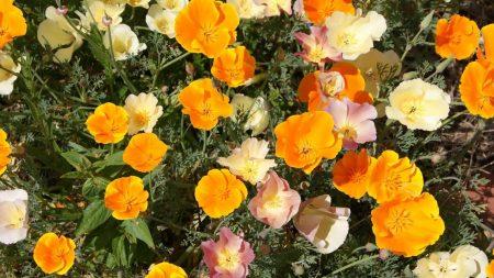 eshsholtsiya, flowers, bright