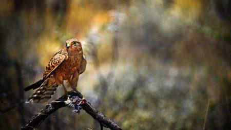 falcon, bird, hawk