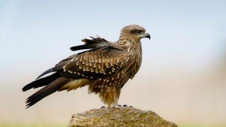 falcon, bird, predator