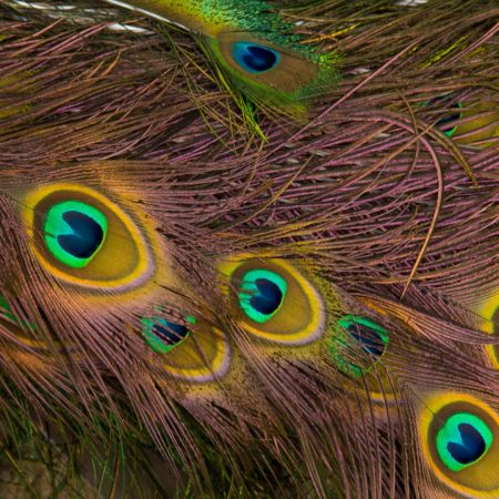 feathers, peacock, texture