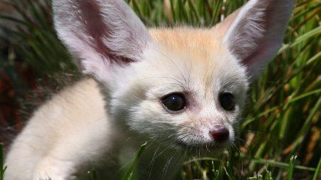 fenech, muzzle, fox