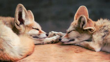 fennec fox, fox, couple