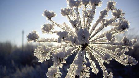 fennel, snow, hoarfrost