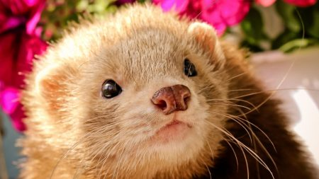 ferret, face, eyes