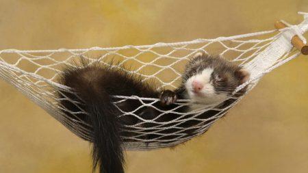ferret, hammock, sleeping