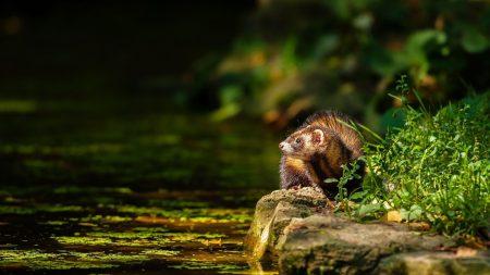 ferret, water, grass