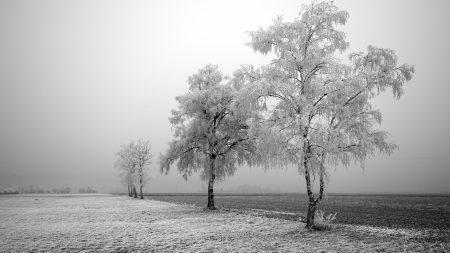 field, birches, winter