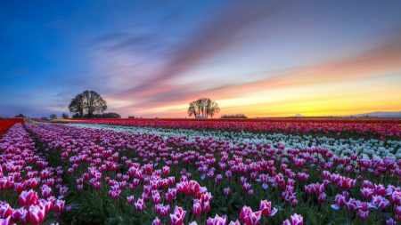 field, tulips, colorful
