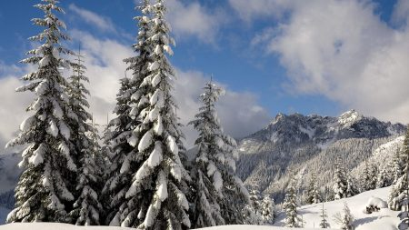 fir-trees, snow, branches