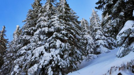 fir-trees, snow, slope
