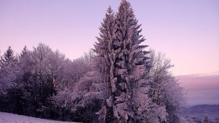 fir-trees, snow, winter