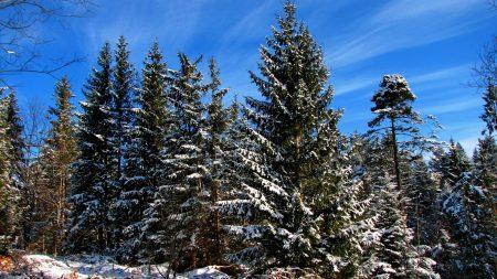fir-trees, trees, sky