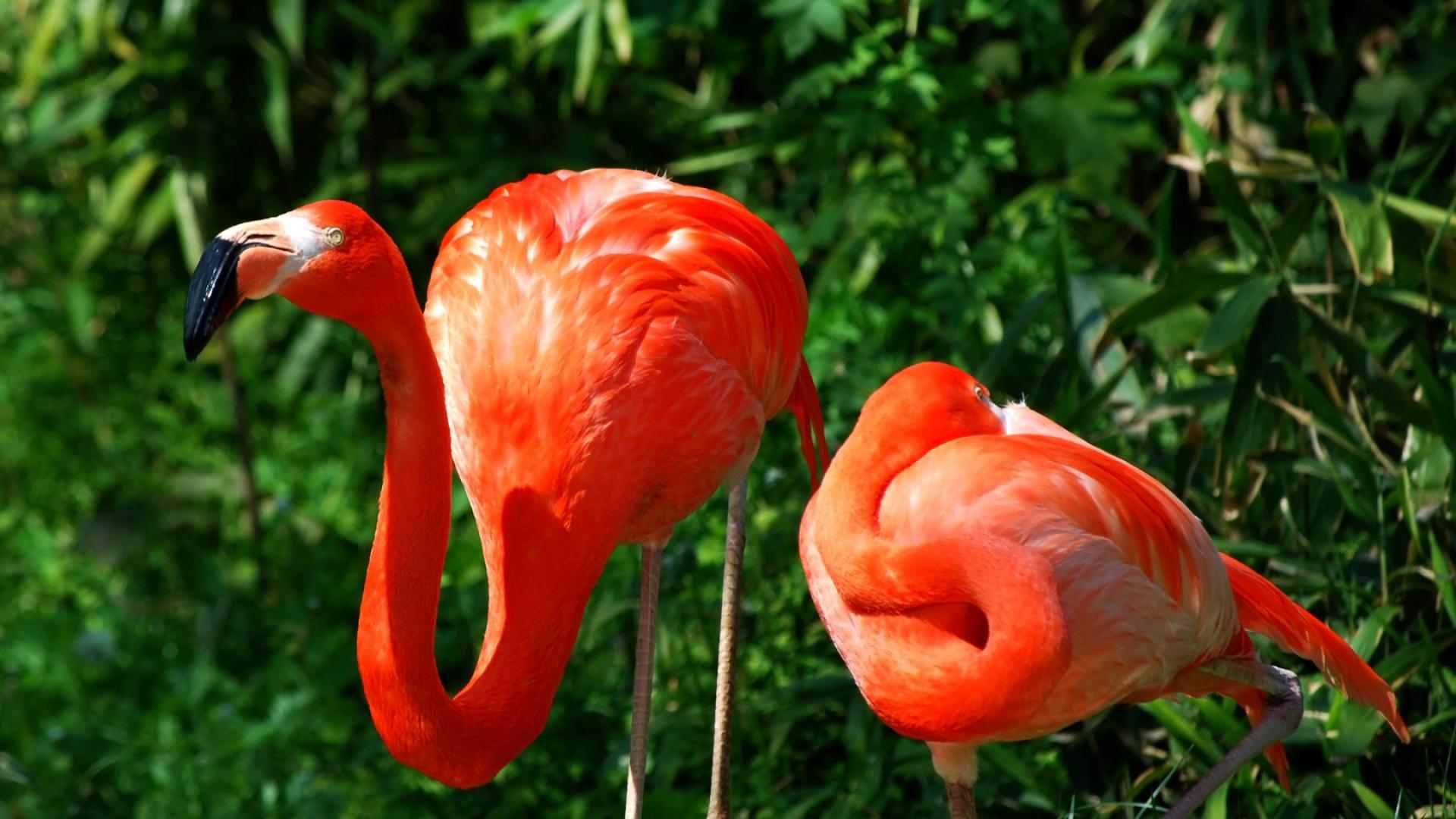 Download Wallpaper 1920x1080 Flamingo Couple Grass Birds Color