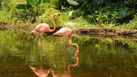 flamingo, couple, walk