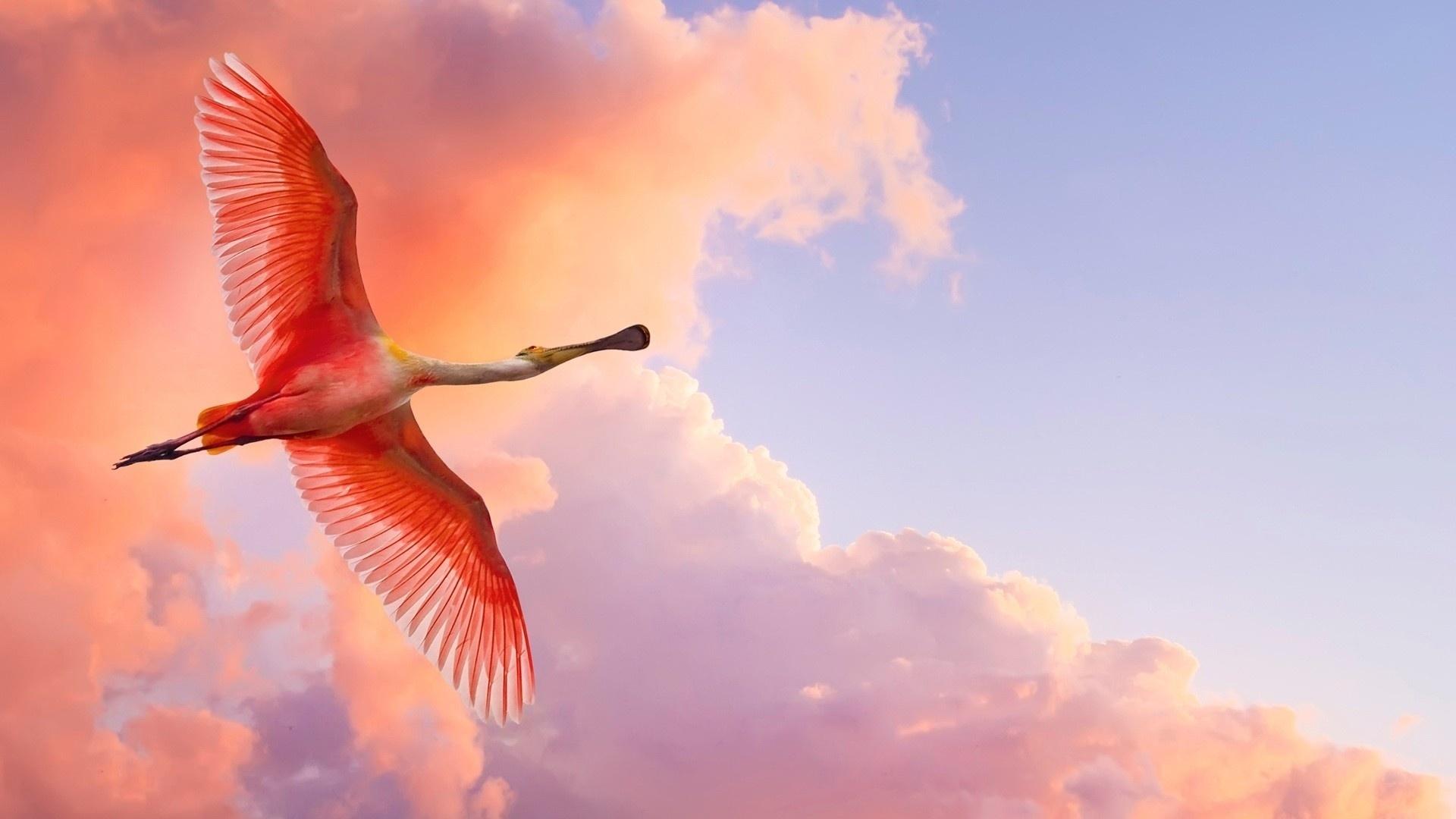 Download Wallpaper 1920x1080 Flamingo Flying Birds Sky Clouds
