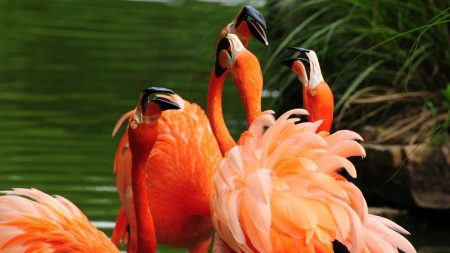 flamingos, birds, water