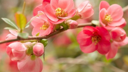 flower, blossom, pink