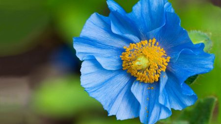 flower, blue, pollen