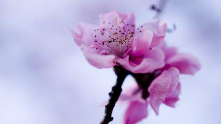 flower, branch, spring