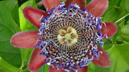 flower, bud, striped