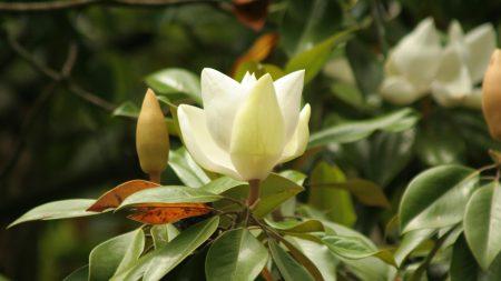 flower, buds, bush
