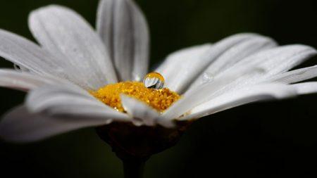 flower, chamomile, white