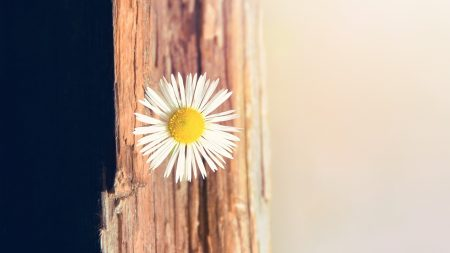 flower, daisy, small