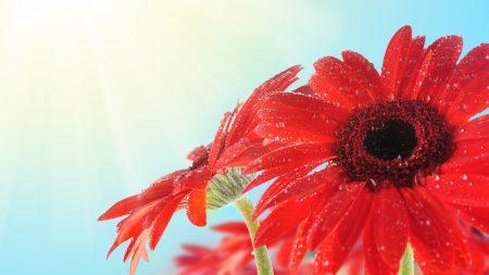 flower, drops, dew