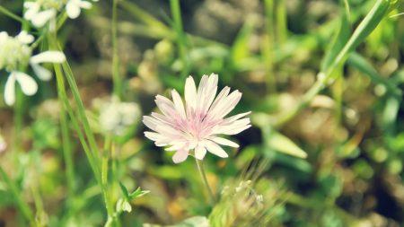 flower, field, ears