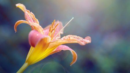 flower, lily, petals
