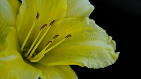 flower, macro, lily