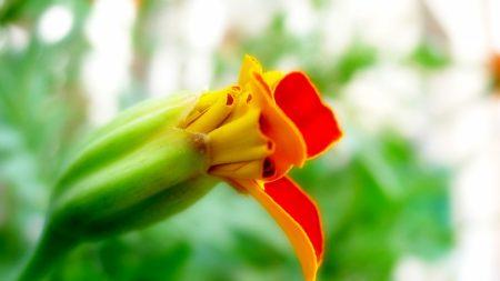 flower, orange, red
