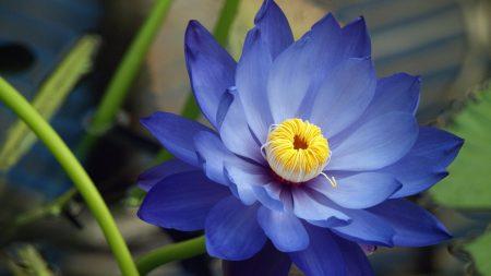 flower, petals, blue