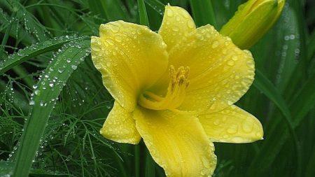 flower, petals, drops