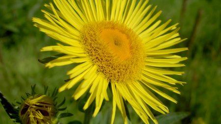 flower, petals, yellow