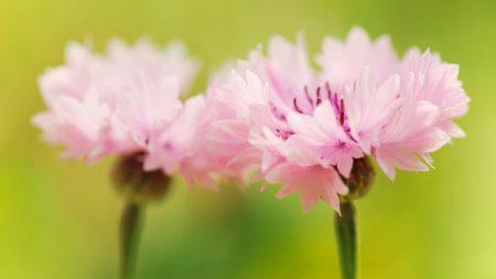 flower, pink, green