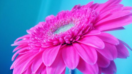 flower, pink, petals