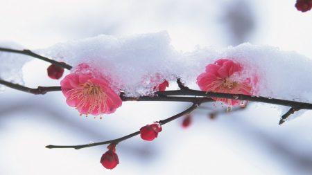 flower, plant, pink