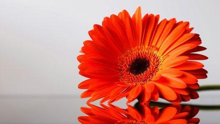 flower, red, petals